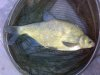 3lb8oz-bream-20140622-gillmans-ce97bae9d6a701242943dcf60073ee04e38c741f